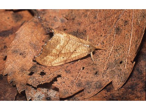 The scalloped hook-tip moth (Falcaria lacertinaria) is well-camouflaged, looking just like the dead birch leaves (Betula spp.) it is resting on.