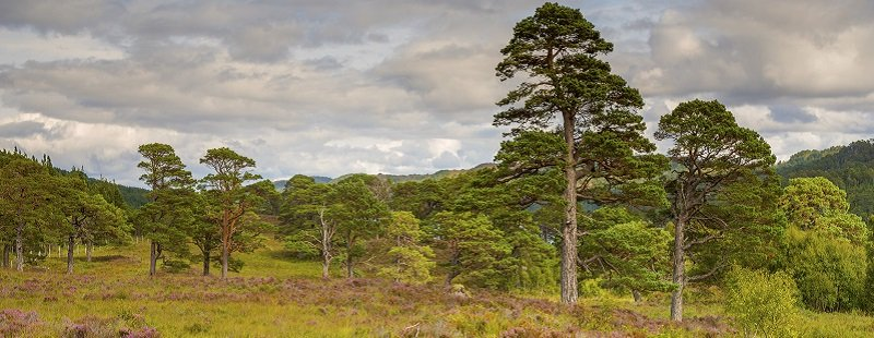 Scots pines at Glen Affric 1_DSC6895 pano