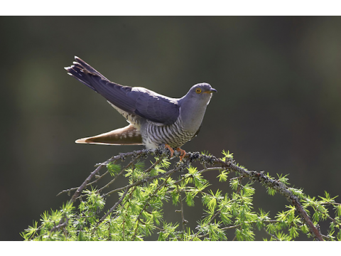 The cuckoo (Cuculus canorus) bears more than a passing resemblance when in flight to the sparrowhawk (Accipiter nisus).