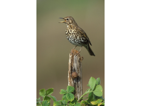 The song thrush (Turdus philomelos) is one of the birds that is very good at mimicking the calls of other birds.