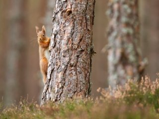 (small) Red squirrel by Peter Cairns