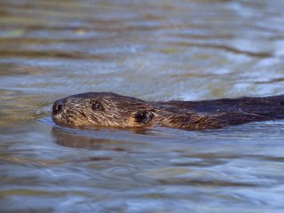 european beaver 9 L.Campbell (medium)