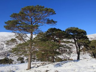 IMG_3907 Scots pines in snow with blue sky at Coille Ruigh na Cuileigemed