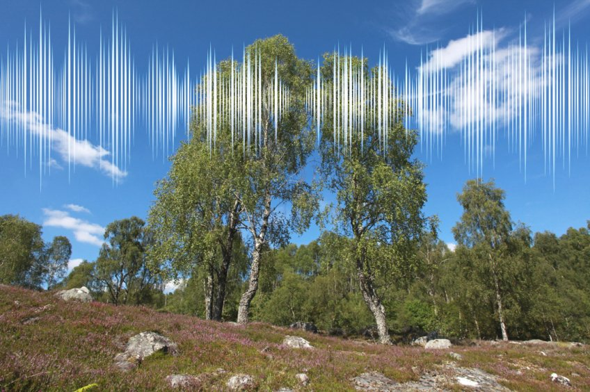 sound IMG_0355 Dundreggan - Birch trees, blue sky & cloud formation (medium)
