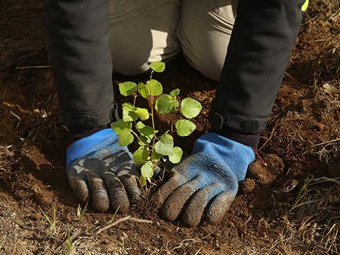 Native tree planting