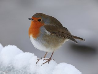 Alans Robin for Blog image