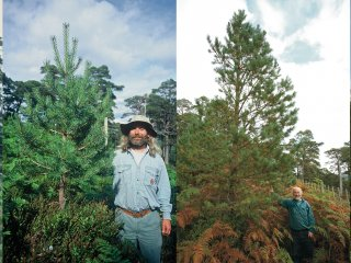 Champion pine 1992 to 2015 smaller