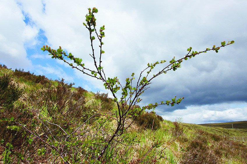 Dwarf birch inside Trees for Life Dundreggan exclosure