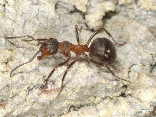 IMG_1108 wood ant edited