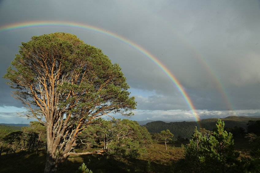 IMG_1432 Double rainbow over an old Scots pine at Coille Ruigh