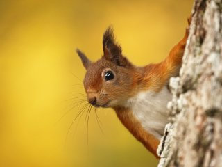 Red Squirrel Cover