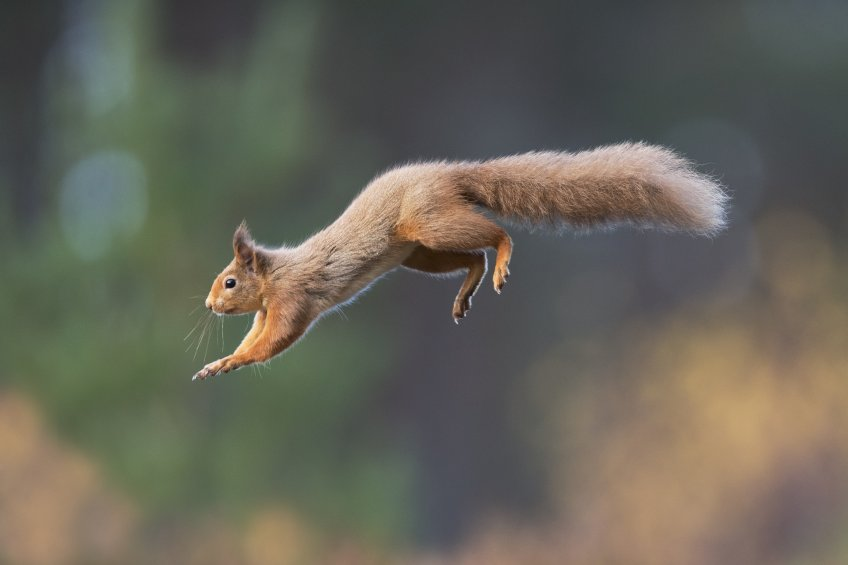 Red squirrel c Peter Cairns hires