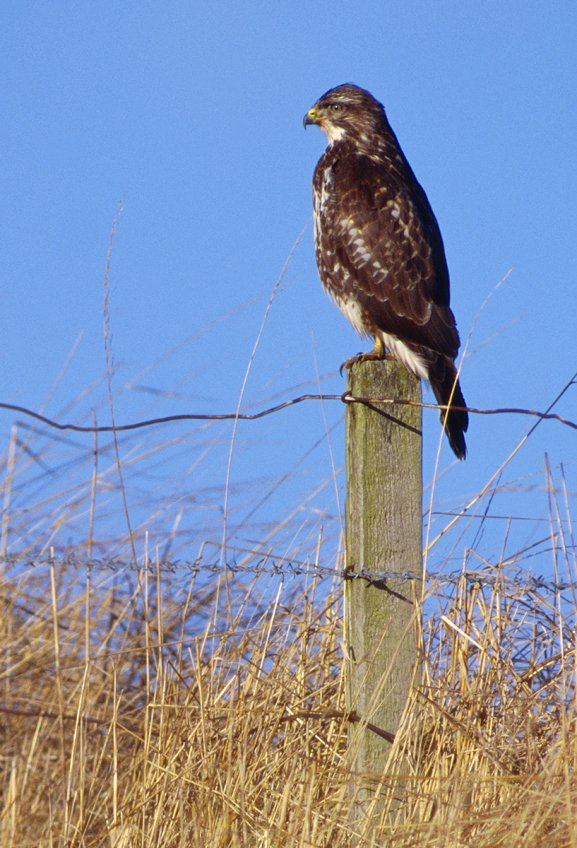 common buzzard trees for life