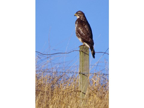 Buzzards are commonly seen perched on fence posts in Scotland.