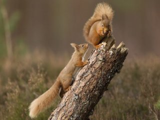Red-squirrel-©-Peter-Cairns-www.scotlandbigpicture.com_-978x624