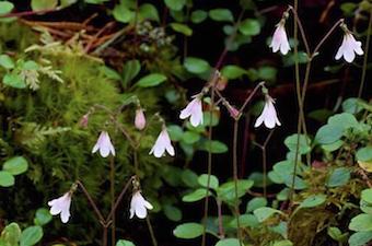 Twinflowers in bloom on pine woodland floor.