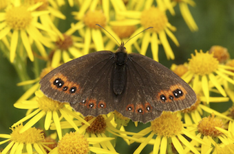 A Scotch argus butterfly on common ragwort.