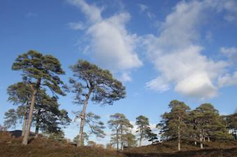 Scots pine against a summer blue sky.