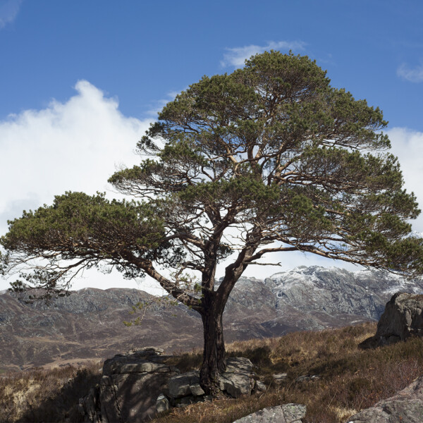 Scots pine standing strong