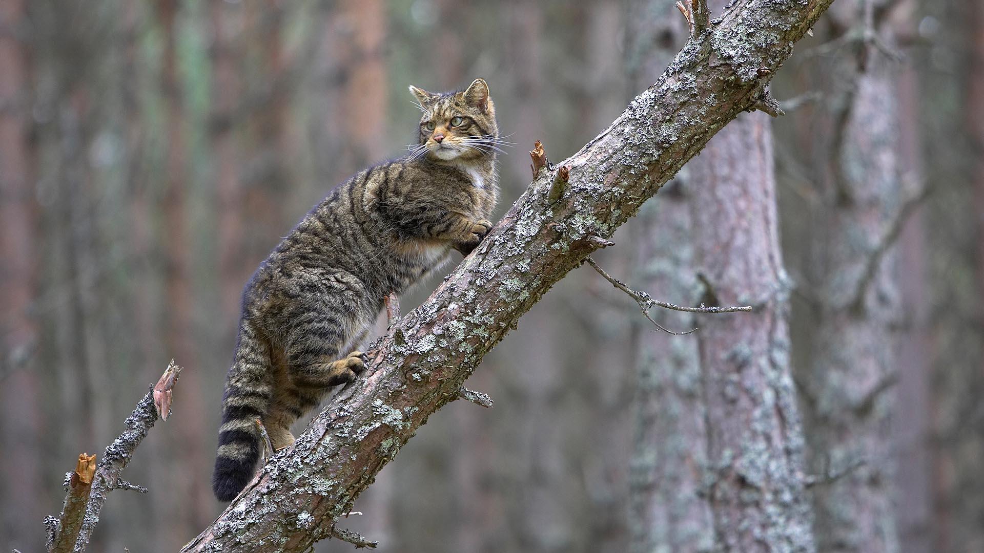 Scottish wildcat mythology and folklore   Trees for Life