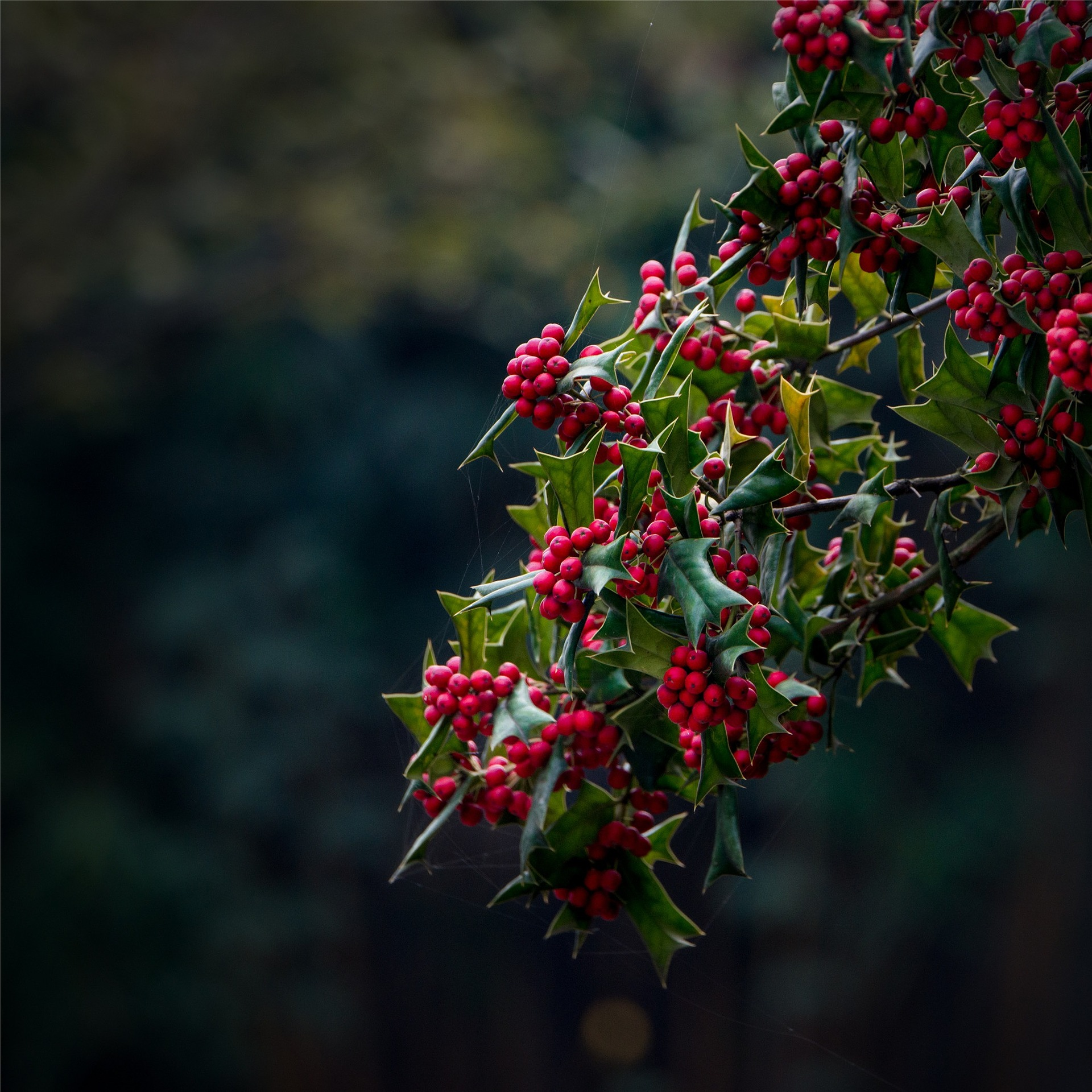 Holly Tree Facts And Mythology Trees For Life