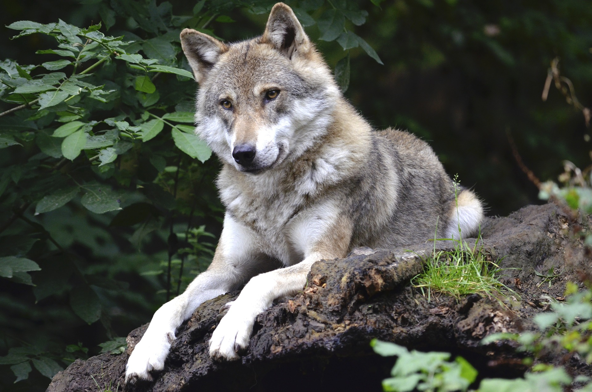 Wolf mythology and folklore in Scotland | Trees for Life