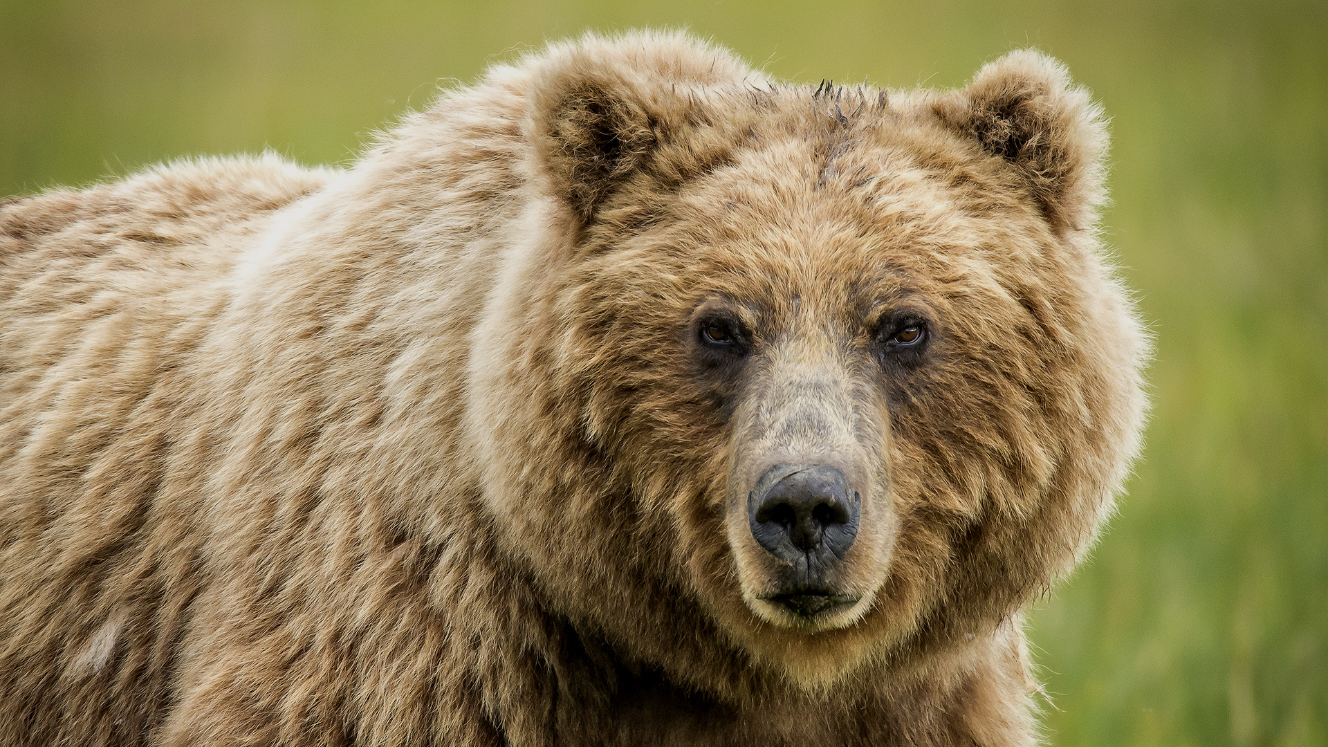The bear, a missing predator of the Caledonian Forest | Trees for Life