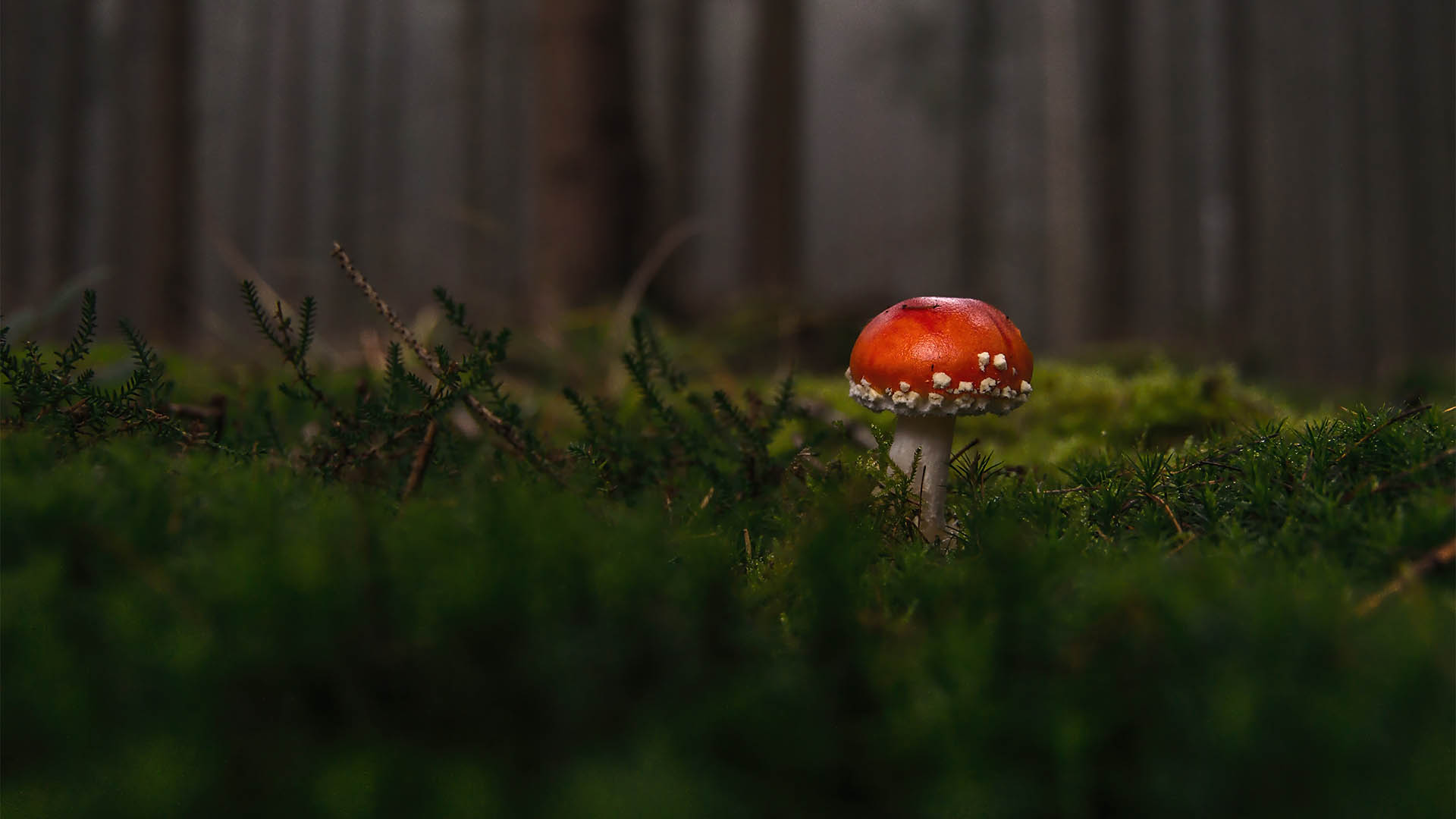 Fly agaric mythology and folklore | Trees for Life