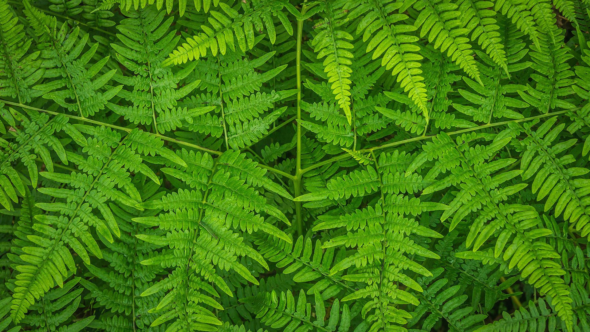 Bracken facts and information | Trees for Life